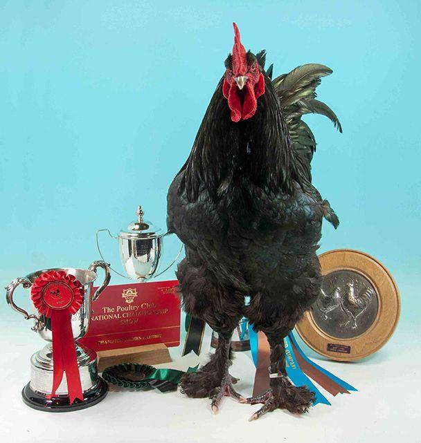Croad Langshan Chick