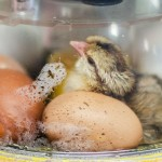 School hatching chick