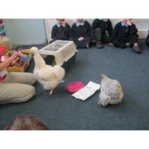 Hens in classroom