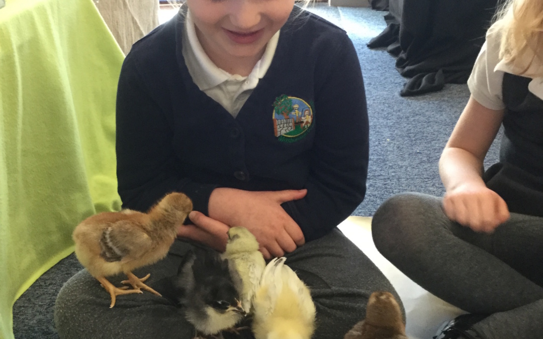 Should we hatch chicks in the classroom?