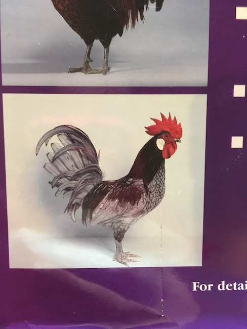 Cover of Rare Poultry Breeds by David Scrivener