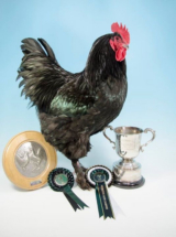 Katzuma the Champion Large Croad Langshan 2016 & 2017 National Poultry Show