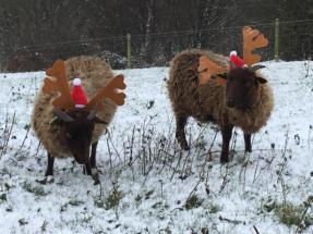 Manx reindeer5